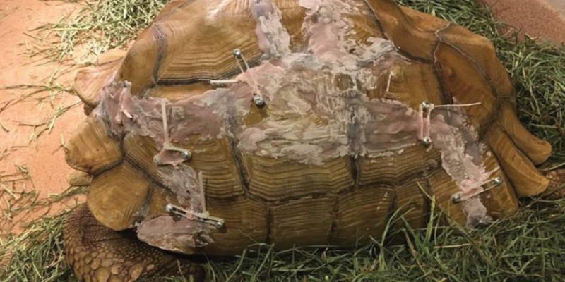 Foto Humpty Dumpty schildpad op wonderlijke wijze gelijmd door dierenartsen
